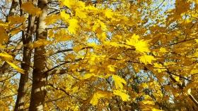 【田螺随拍】后院外的金枫
