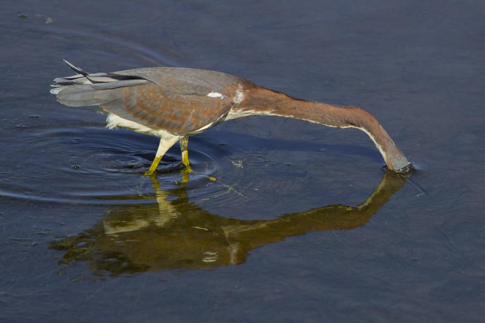 三色鹭--Tricolored Heron_图1-14