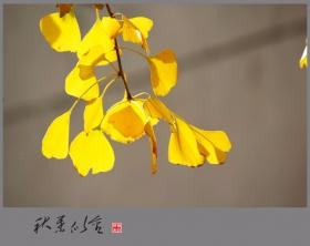 片片秋叶似黄金