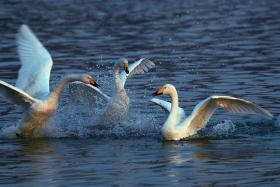 黄河湿地的天鹅湖