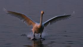 黄河湿地的天鹅湖---2