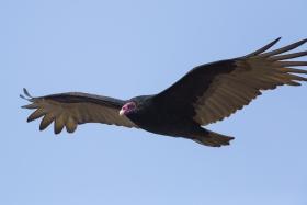 红头美洲秃鹫