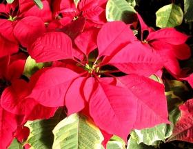 圣旦时节一品红