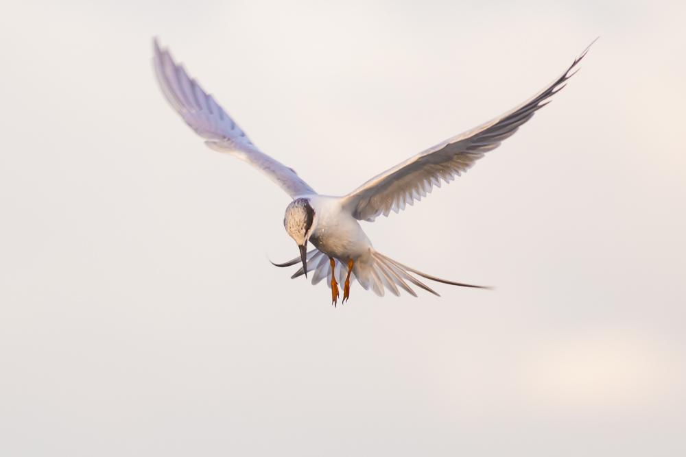 小燕鷗_圖1-5
