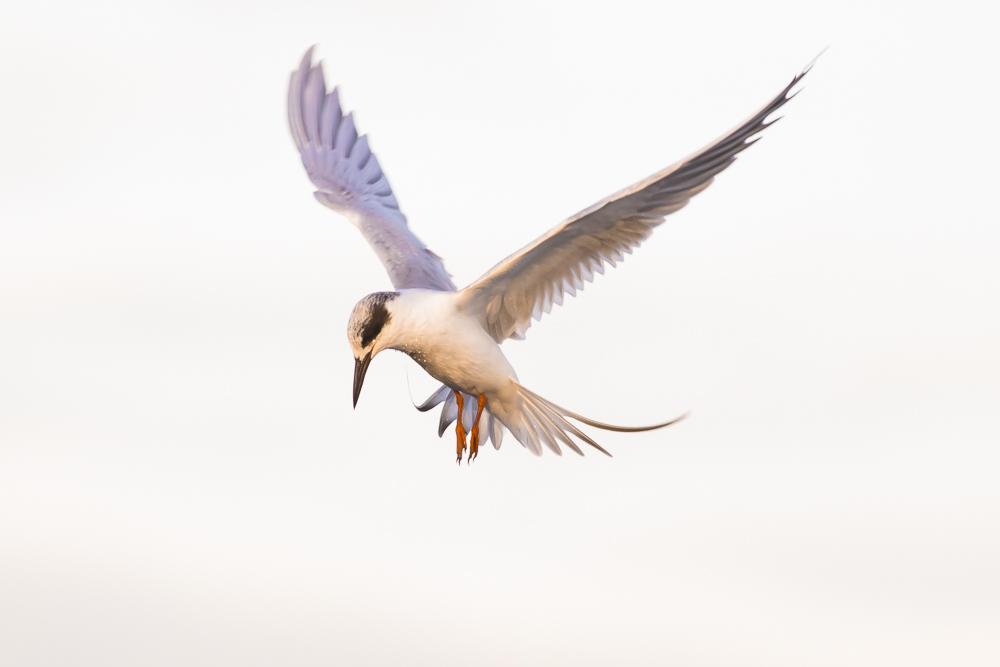 小燕鷗_圖1-2