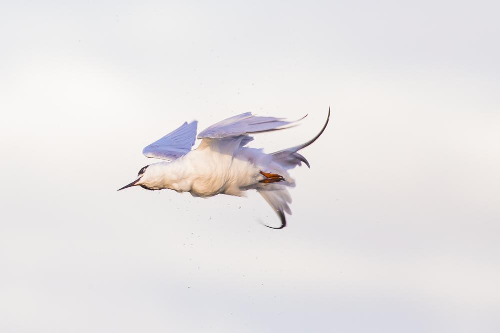 小燕鷗_圖1-9