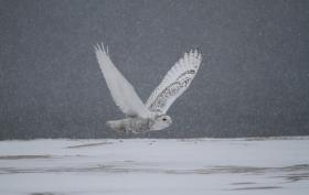 【田螺摄影】昨天下雪去拍雪猫鹰