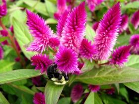 凤尾鸡冠花与三色堇