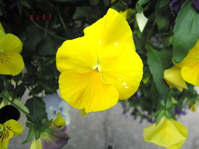 201791 鳳尾雞冠花與三色堇_圖1-11