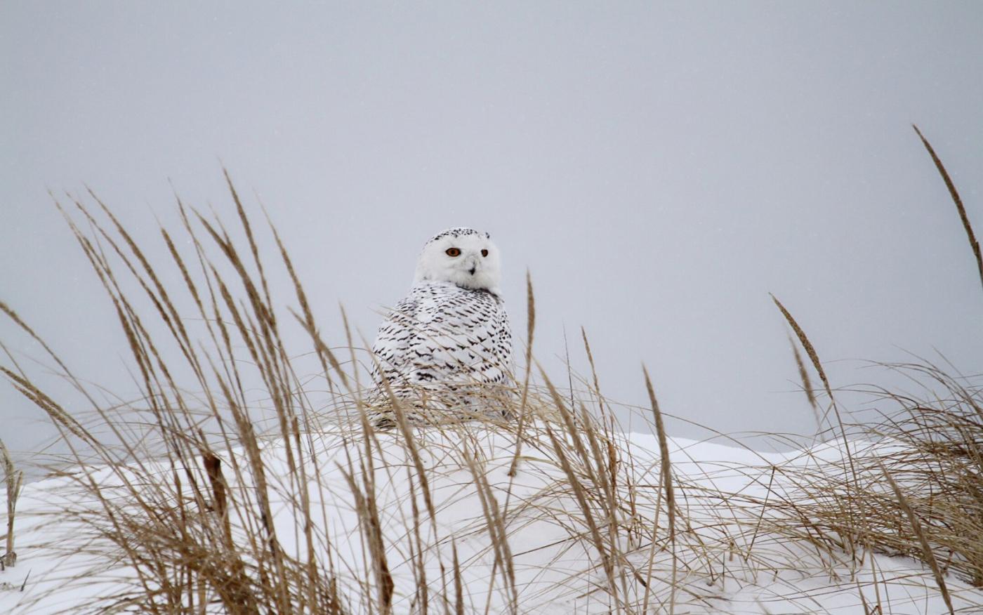 【田螺摄影】它坐着我坐着~抓拍雪猫鹰的萌态_图1-1