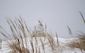 【田螺摄影】它坐着我坐着~抓拍雪猫鹰的萌