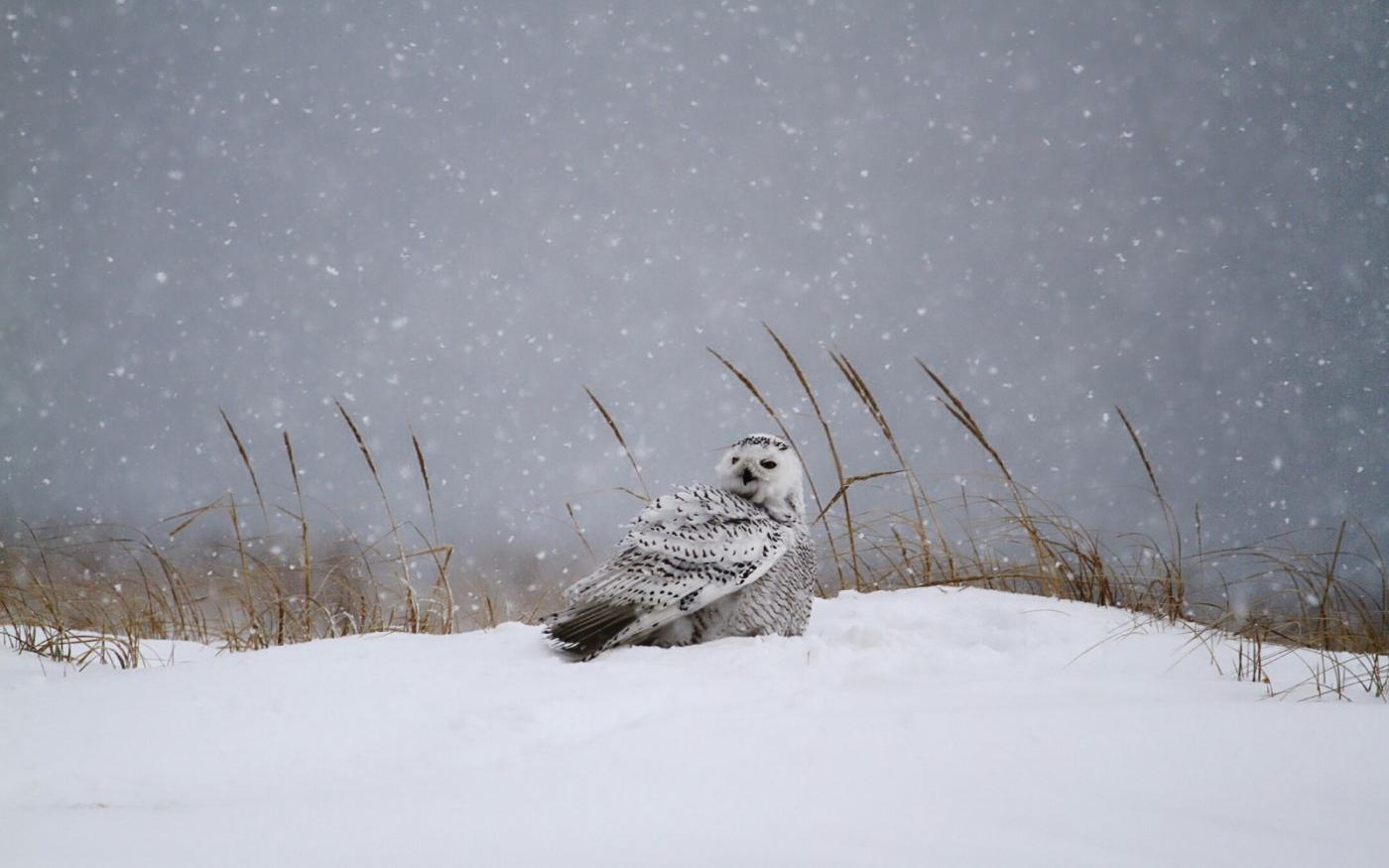 【田螺摄影】它坐着我坐着~抓拍雪猫鹰的萌态_图1-3