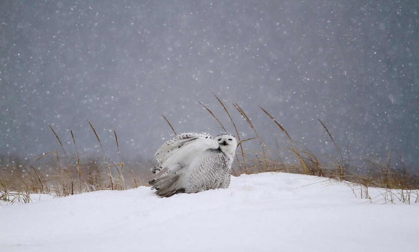 【田螺摄影】它坐着我坐着~抓拍雪猫鹰的萌态_图1-4