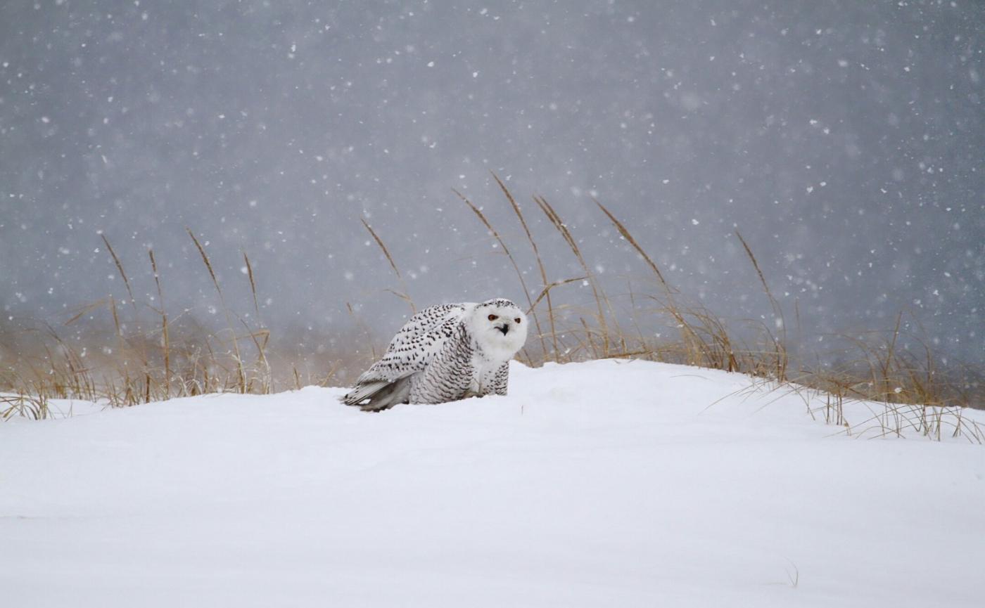 【田螺摄影】它坐着我坐着~抓拍雪猫鹰的萌态_图1-5