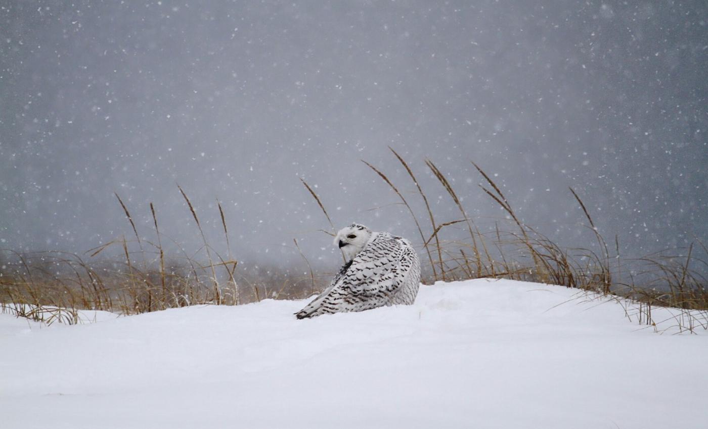 【田螺摄影】它坐着我坐着~抓拍雪猫鹰的萌态_图1-6