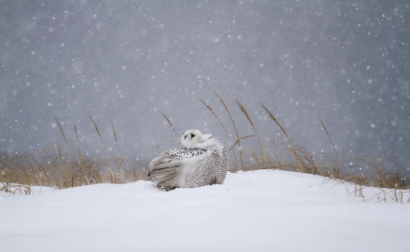【田螺摄影】它坐着我坐着~抓拍雪猫鹰的萌态_图1-7