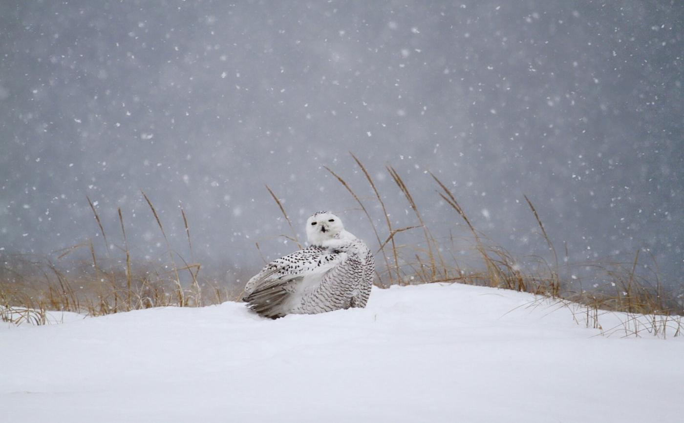 【田螺摄影】它坐着我坐着~抓拍雪猫鹰的萌态_图1-8