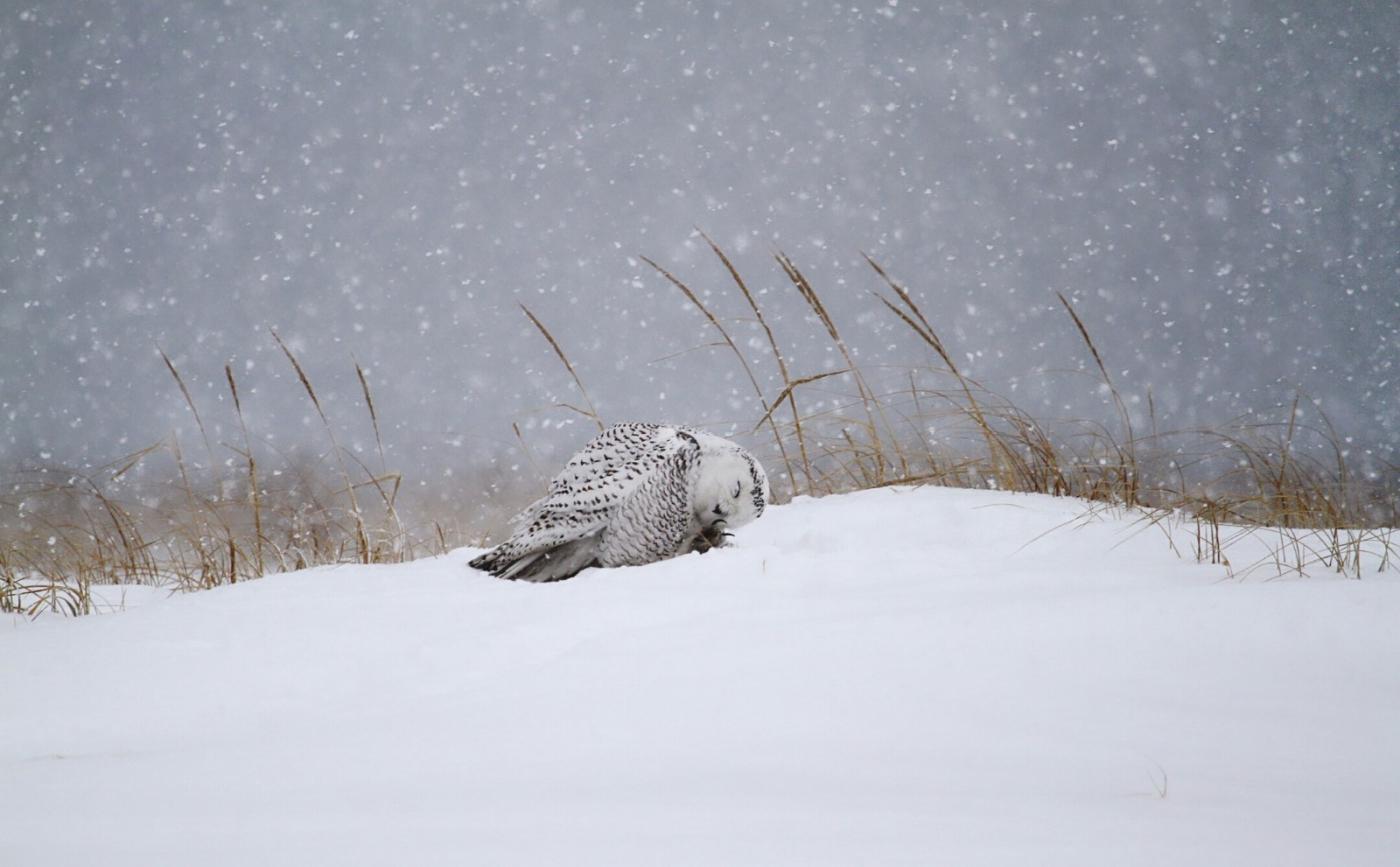 【田螺摄影】它坐着我坐着~抓拍雪猫鹰的萌态_图1-9