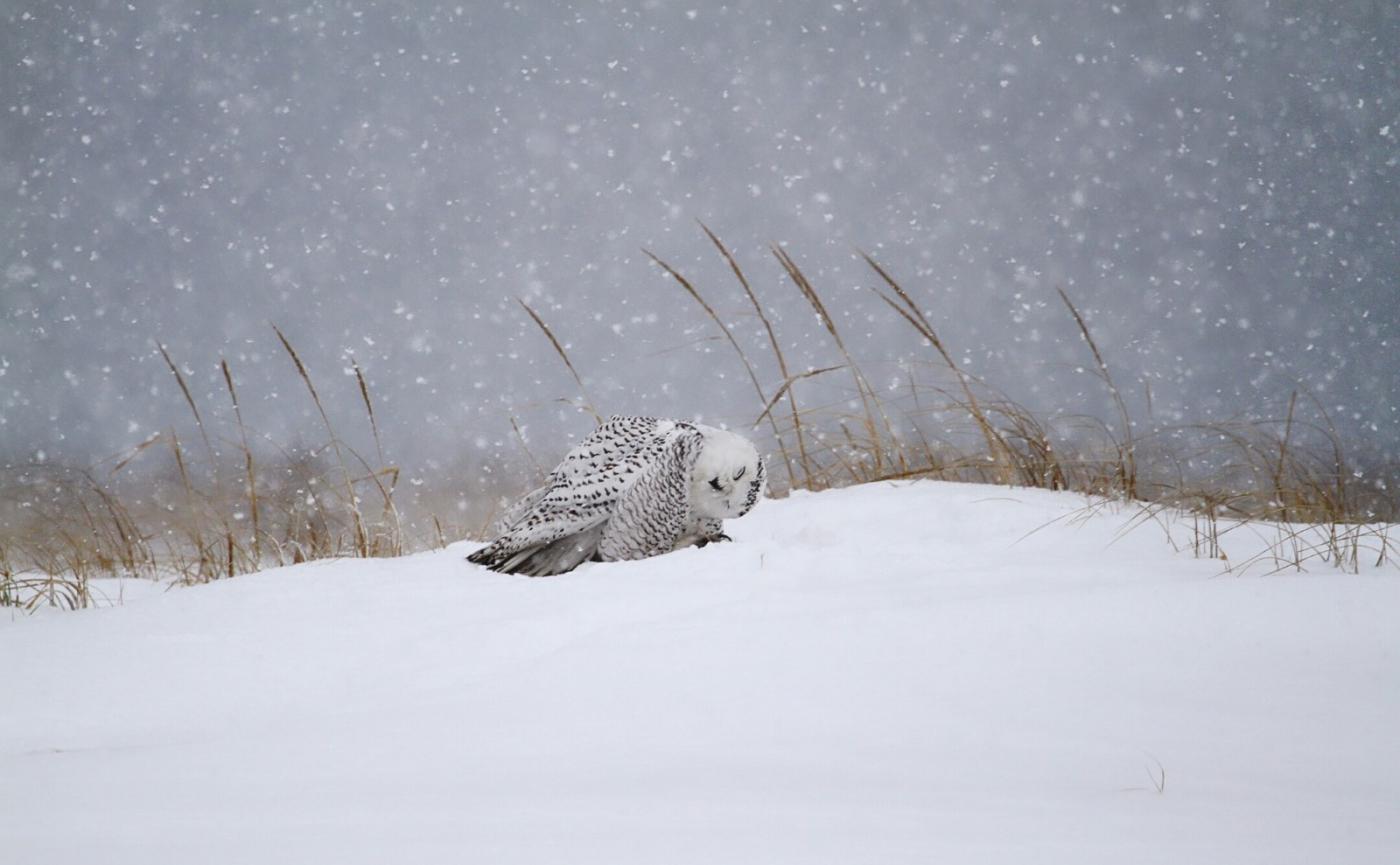 【田螺摄影】它坐着我坐着~抓拍雪猫鹰的萌态_图1-10