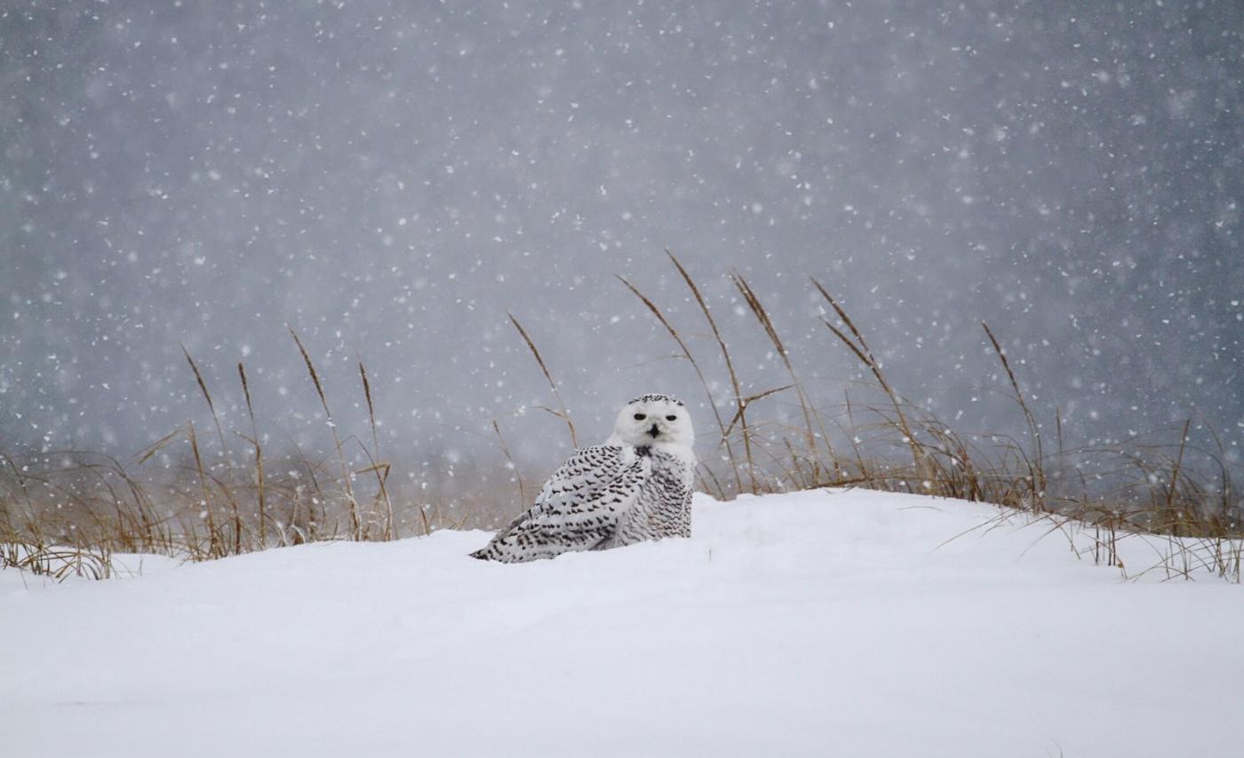 【田螺摄影】它坐着我坐着~抓拍雪猫鹰的萌态_图1-11