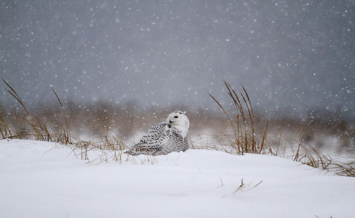 【田螺摄影】它坐着我坐着~抓拍雪猫鹰的萌态_图1-12