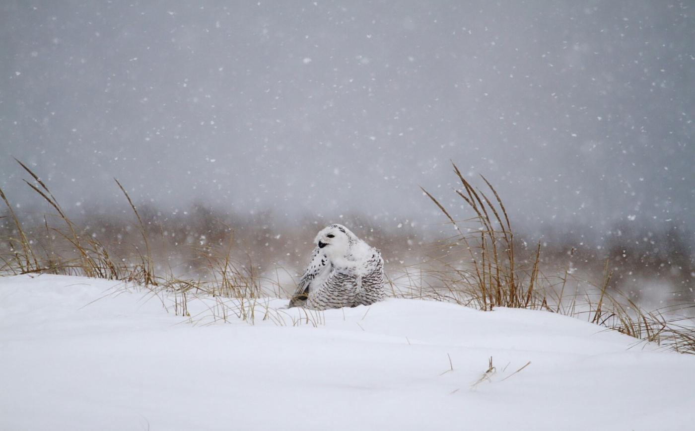 【田螺摄影】它坐着我坐着~抓拍雪猫鹰的萌态_图1-13