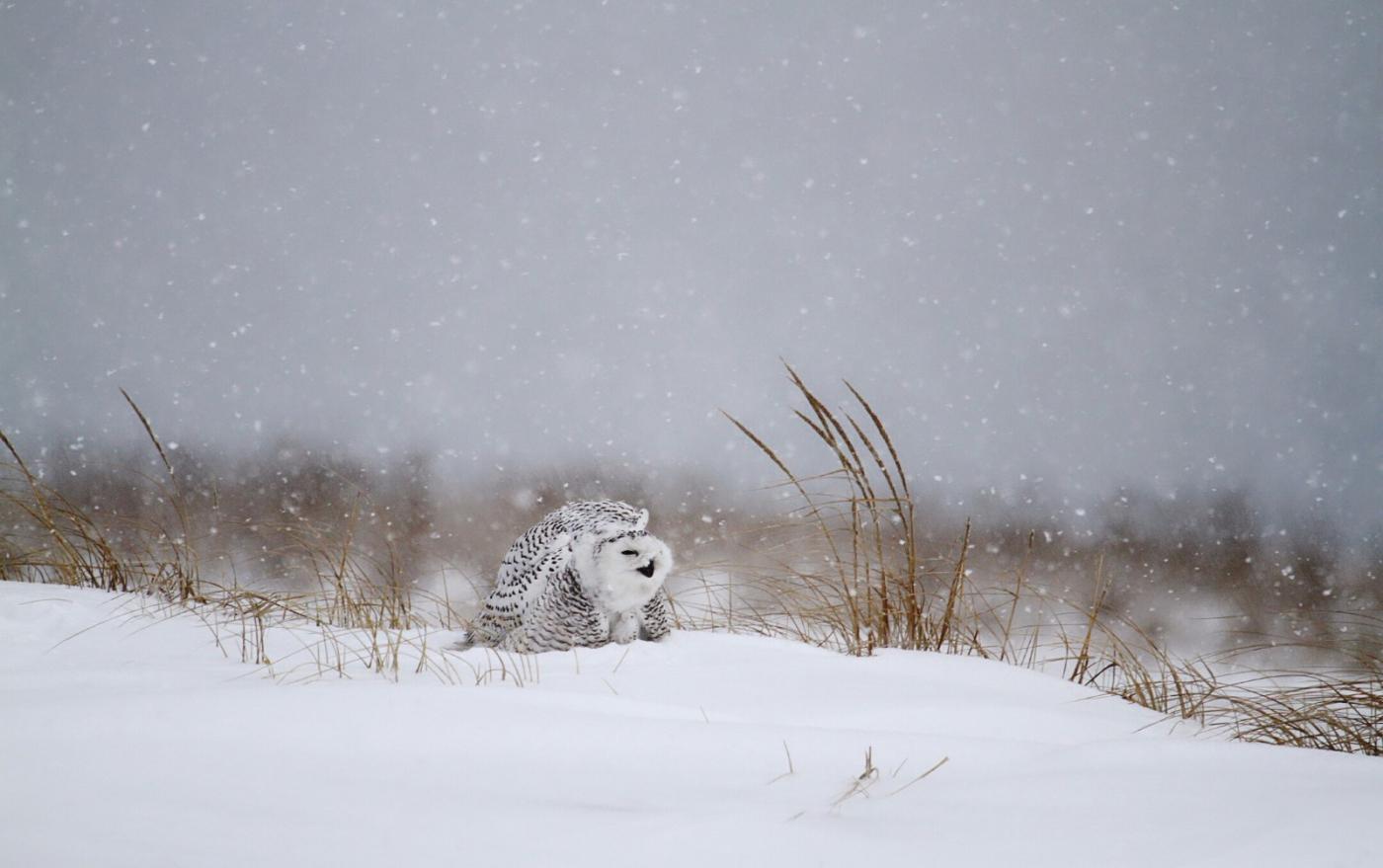 【田螺摄影】它坐着我坐着~抓拍雪猫鹰的萌态_图1-14