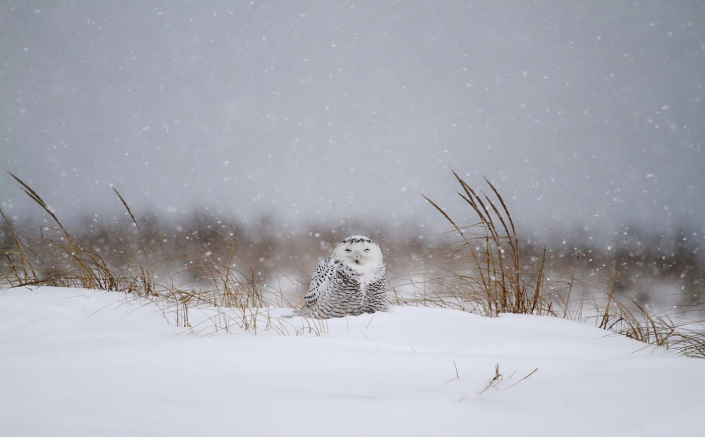 【田螺摄影】它坐着我坐着~抓拍雪猫鹰的萌态_图1-15
