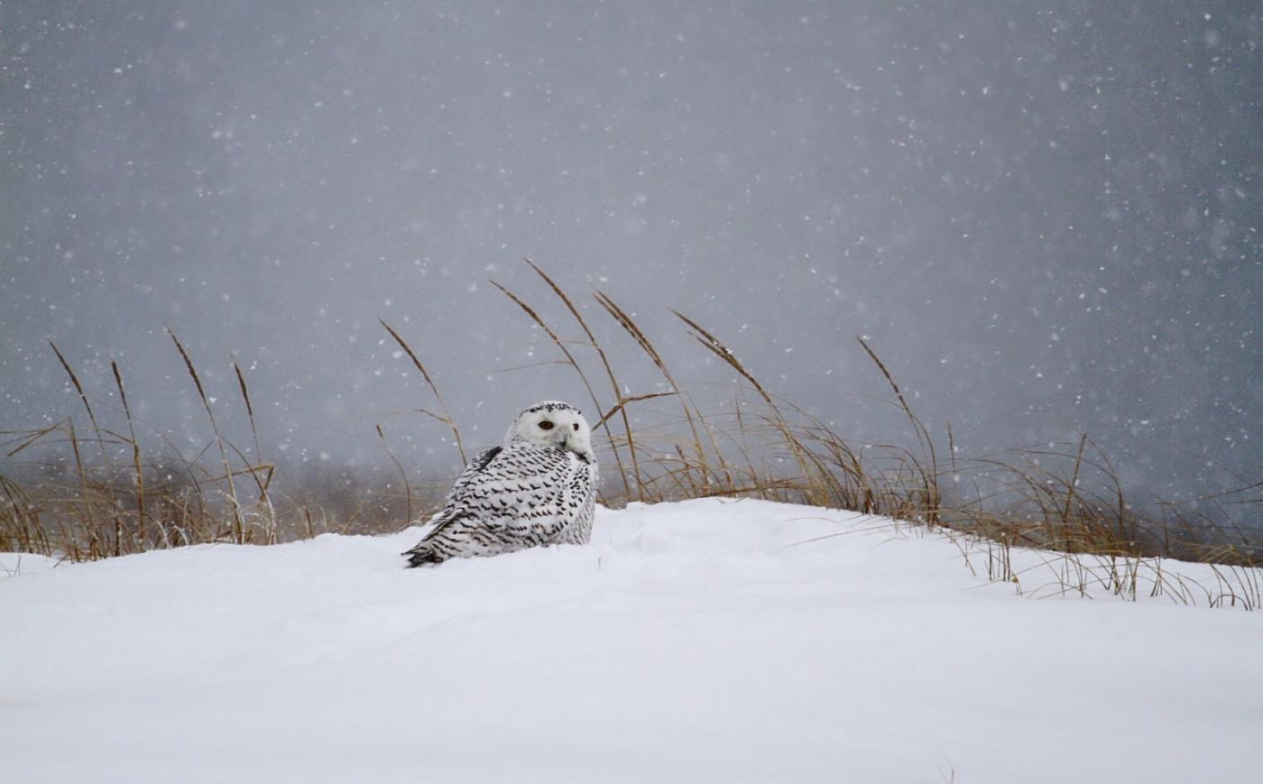 【田螺摄影】它坐着我坐着~抓拍雪猫鹰的萌态_图1-16