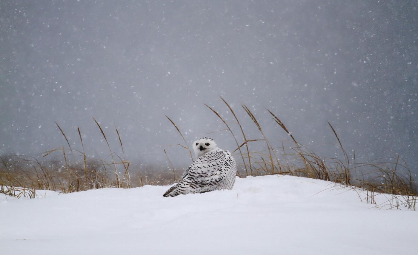 【田螺摄影】它坐着我坐着~抓拍雪猫鹰的萌态_图1-17