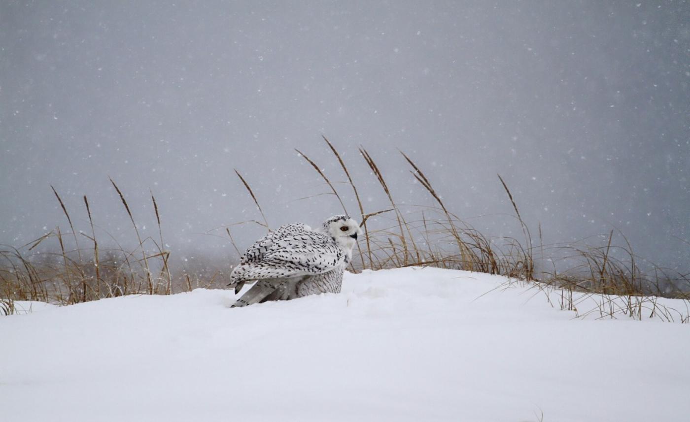 【田螺摄影】它坐着我坐着~抓拍雪猫鹰的萌态_图1-18