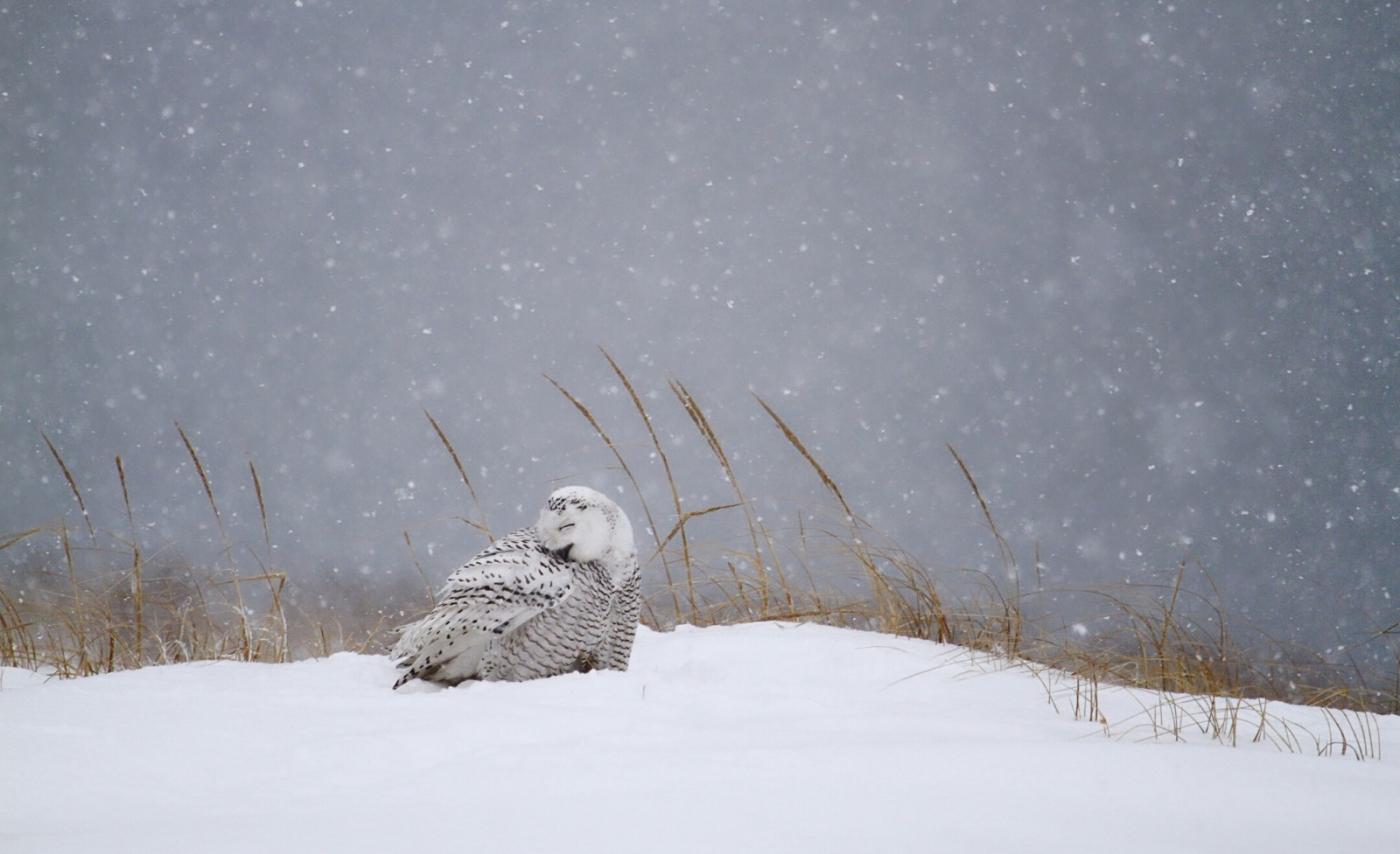 【田螺摄影】它坐着我坐着~抓拍雪猫鹰的萌态_图1-19