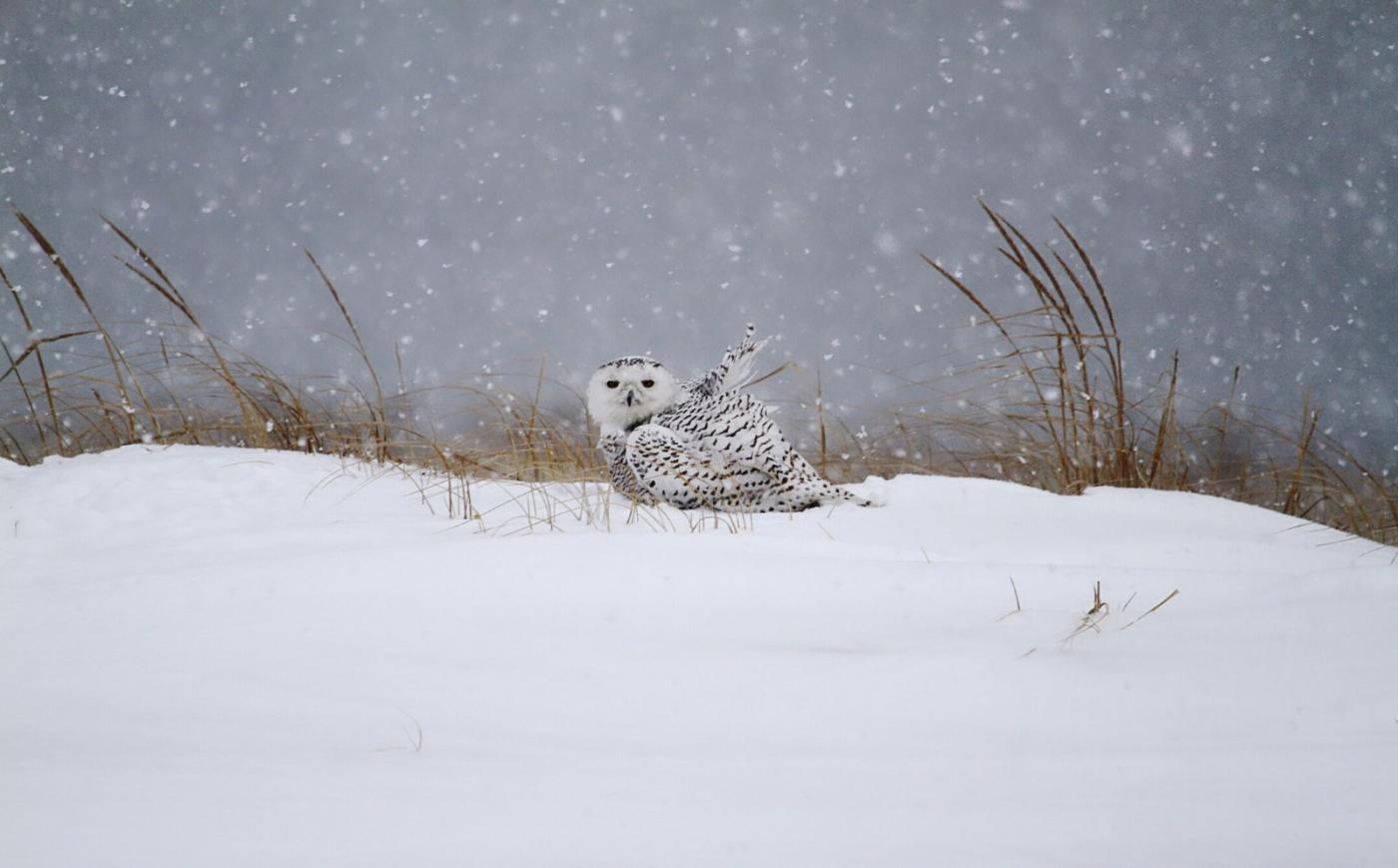 【田螺摄影】它坐着我坐着~抓拍雪猫鹰的萌态_图1-20