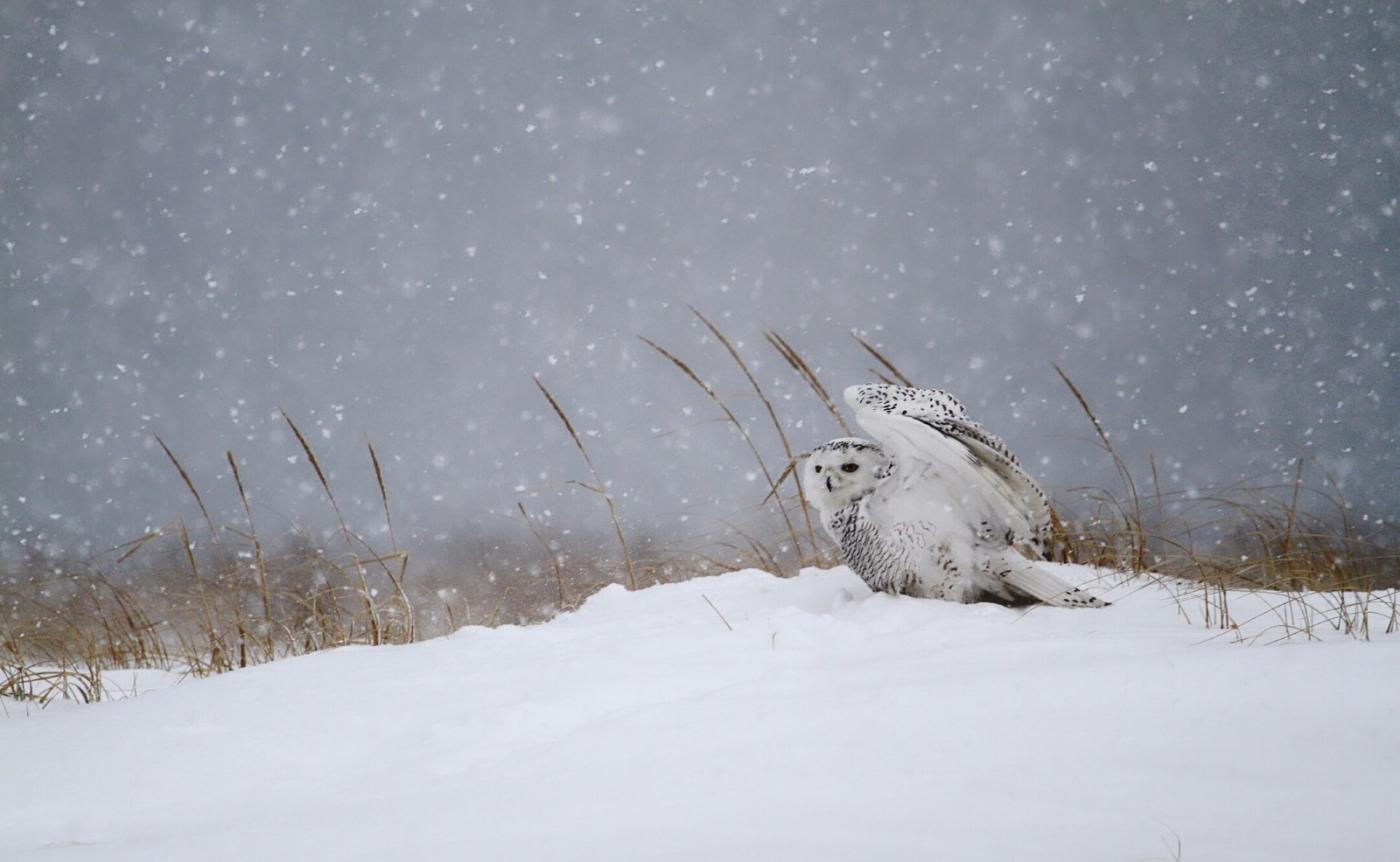 【田螺摄影】它坐着我坐着~抓拍雪猫鹰的萌态_图1-21