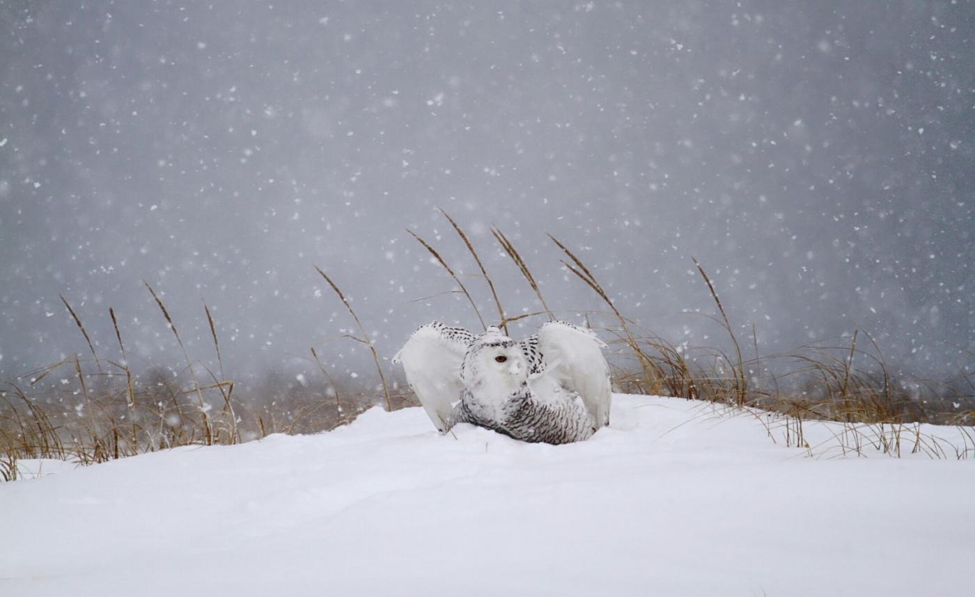 【田螺摄影】它坐着我坐着~抓拍雪猫鹰的萌态_图1-22