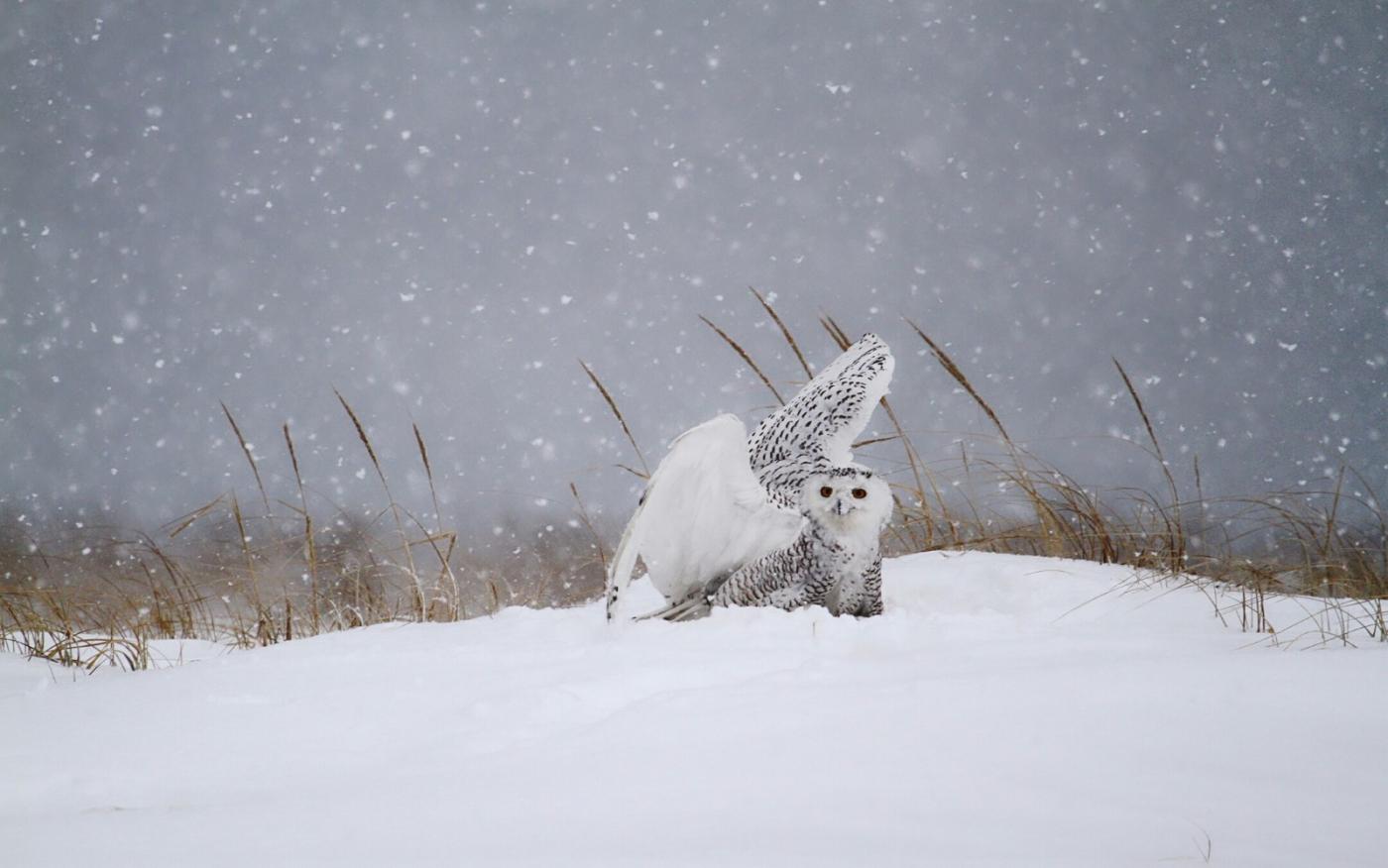 【田螺摄影】它坐着我坐着~抓拍雪猫鹰的萌态_图1-23
