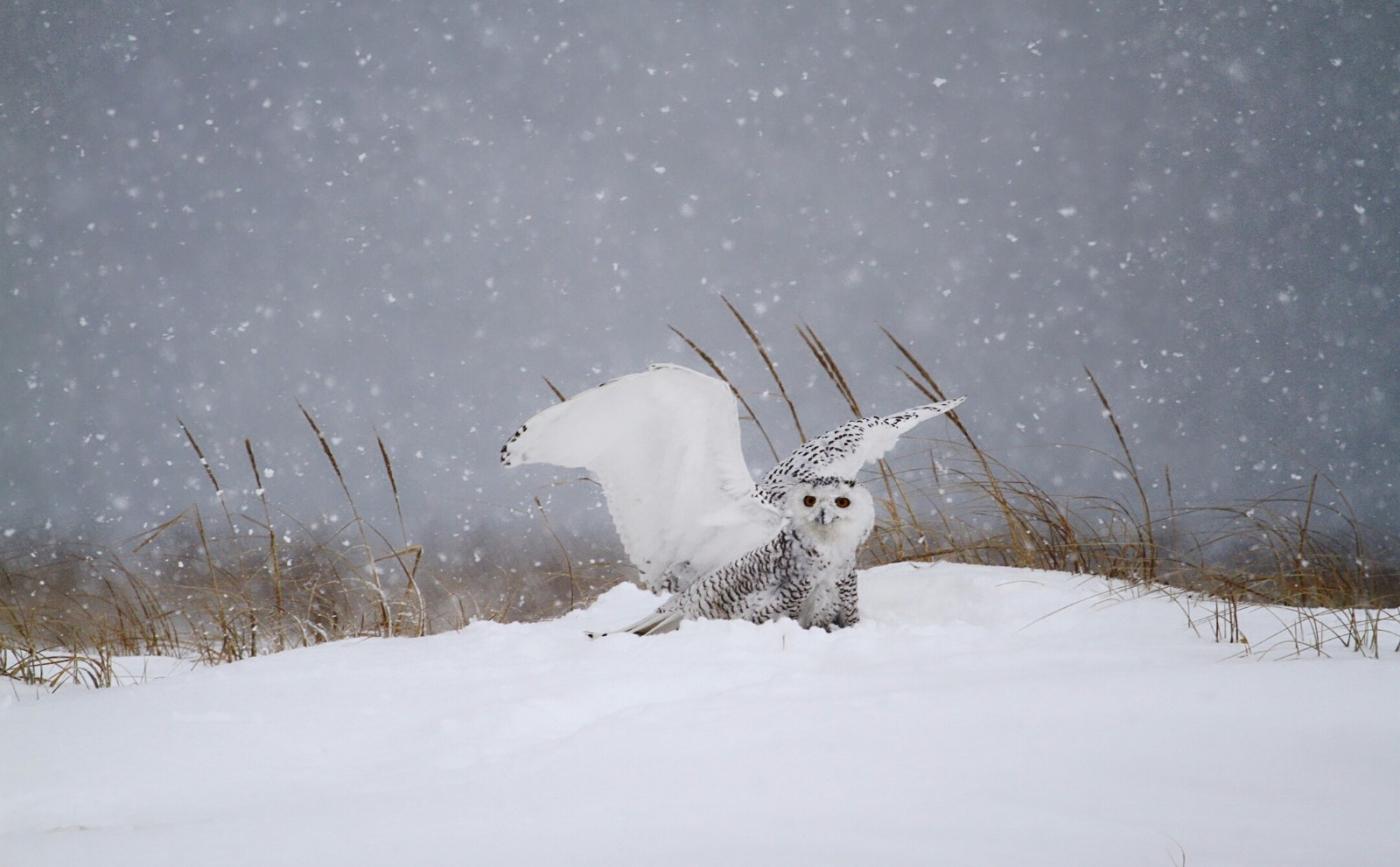 【田螺摄影】它坐着我坐着~抓拍雪猫鹰的萌态_图1-24