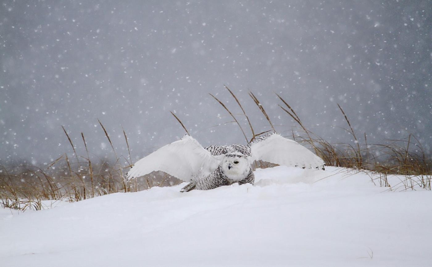 【田螺摄影】它坐着我坐着~抓拍雪猫鹰的萌态_图1-25