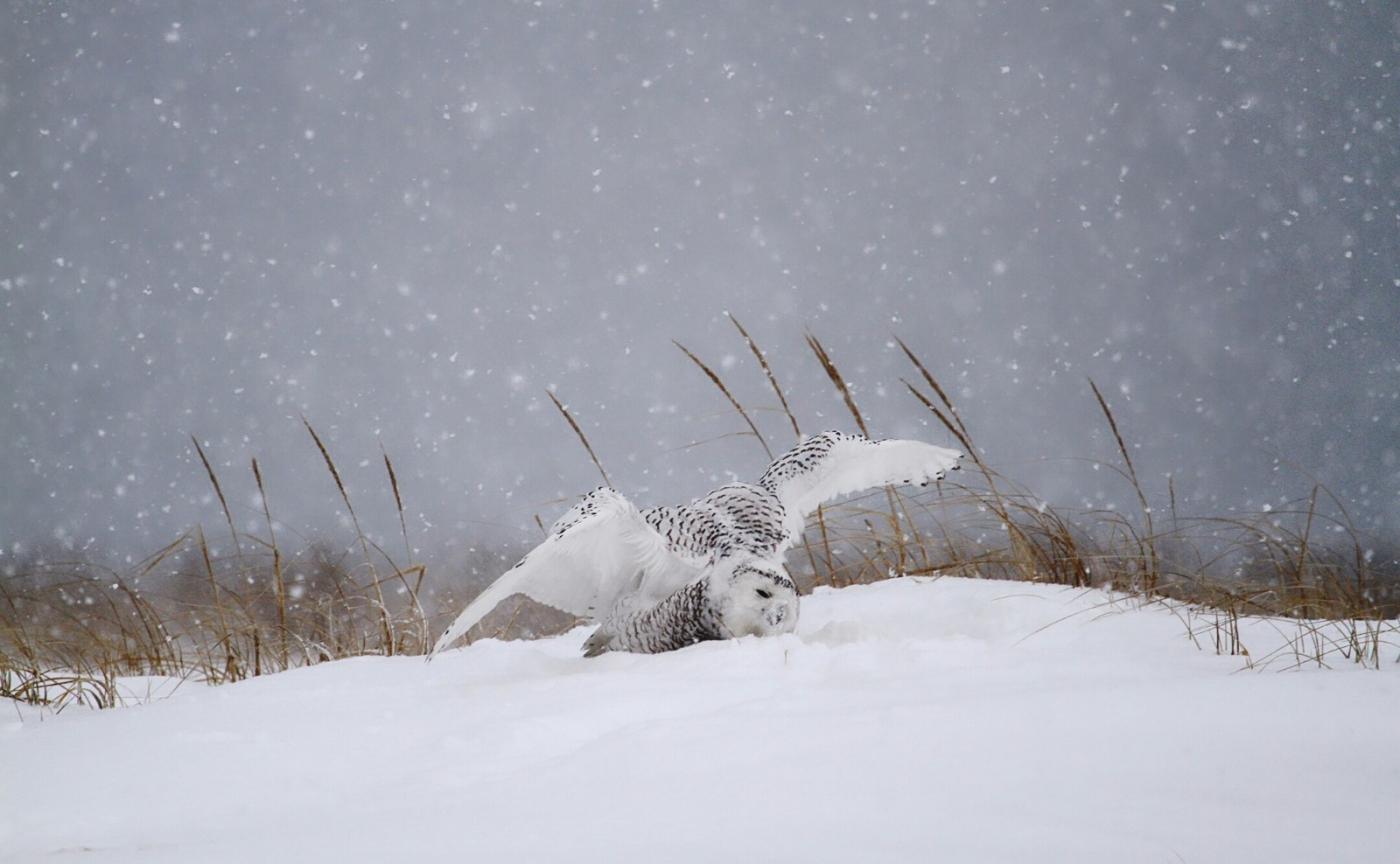 【田螺摄影】它坐着我坐着~抓拍雪猫鹰的萌态_图1-26