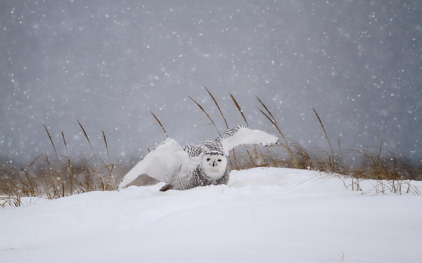 【田螺摄影】它坐着我坐着~抓拍雪猫鹰的萌态_图1-27