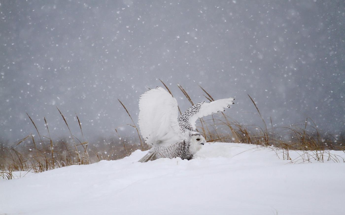 【田螺摄影】它坐着我坐着~抓拍雪猫鹰的萌态_图1-28