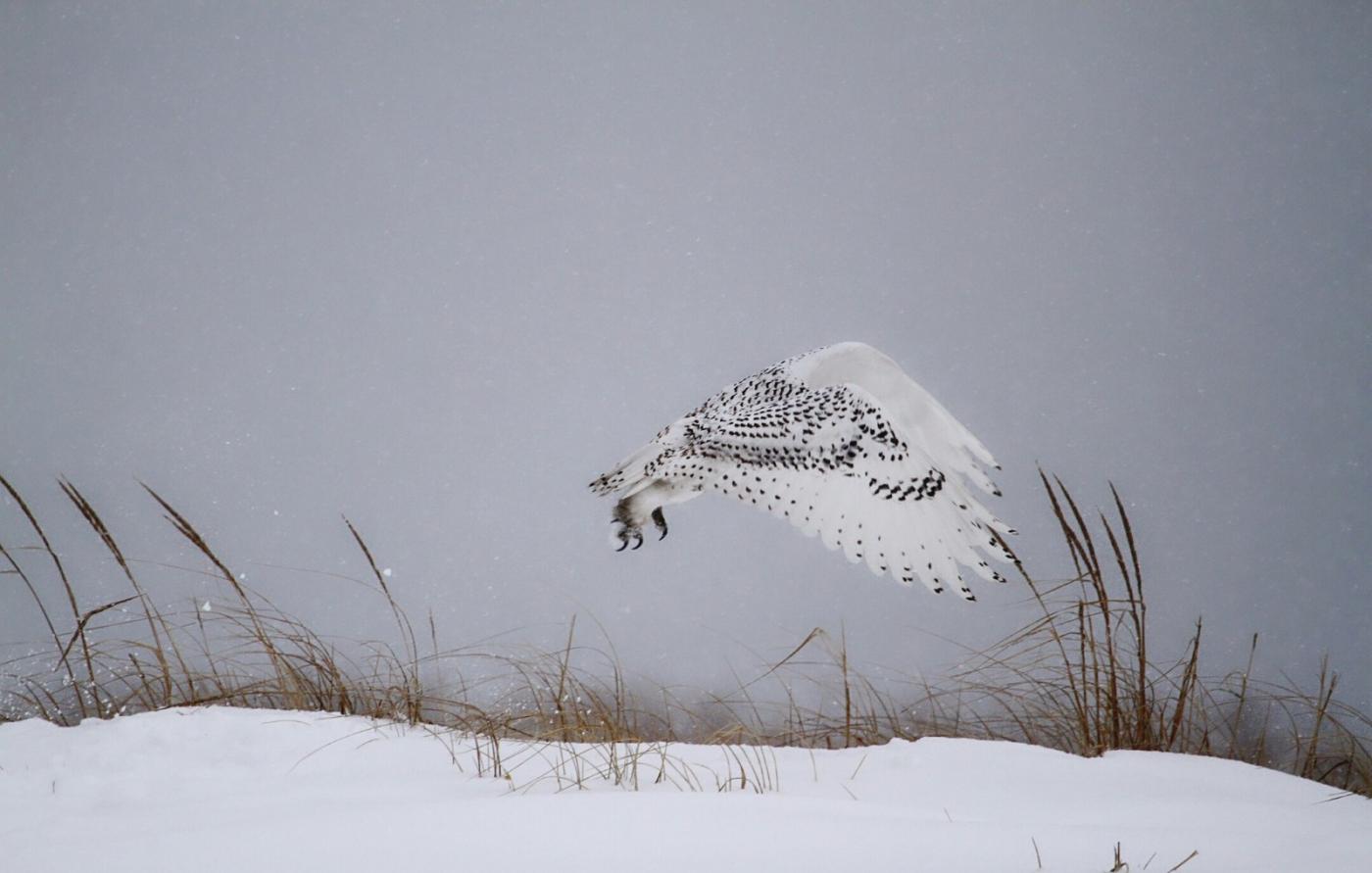 【田螺摄影】它坐着我坐着~抓拍雪猫鹰的萌态_图1-30