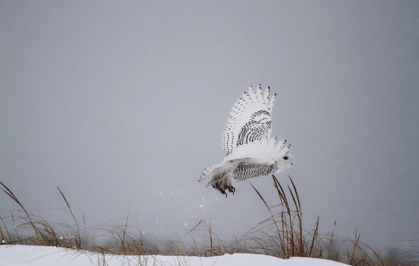 【田螺摄影】它坐着我坐着~抓拍雪猫鹰的萌态_图1-31