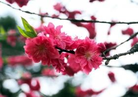200883 樱花