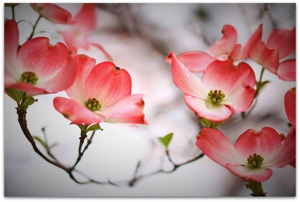 【爱摄影】漂亮的花树 (狗木)你想像不到的美丽_图1-5