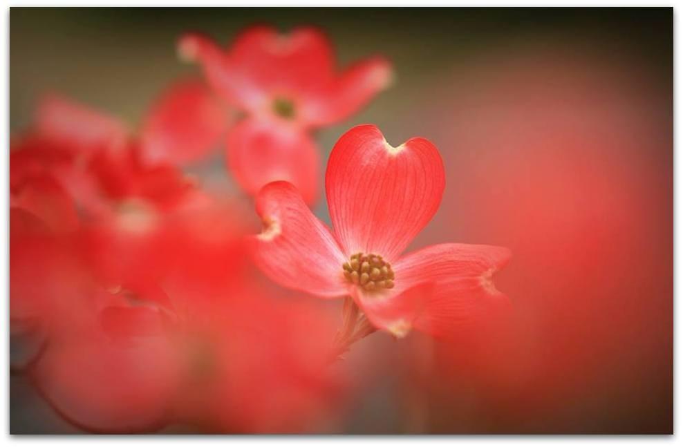 【爱摄影】漂亮的花树 (狗木)你想像不到的美丽_图1-6