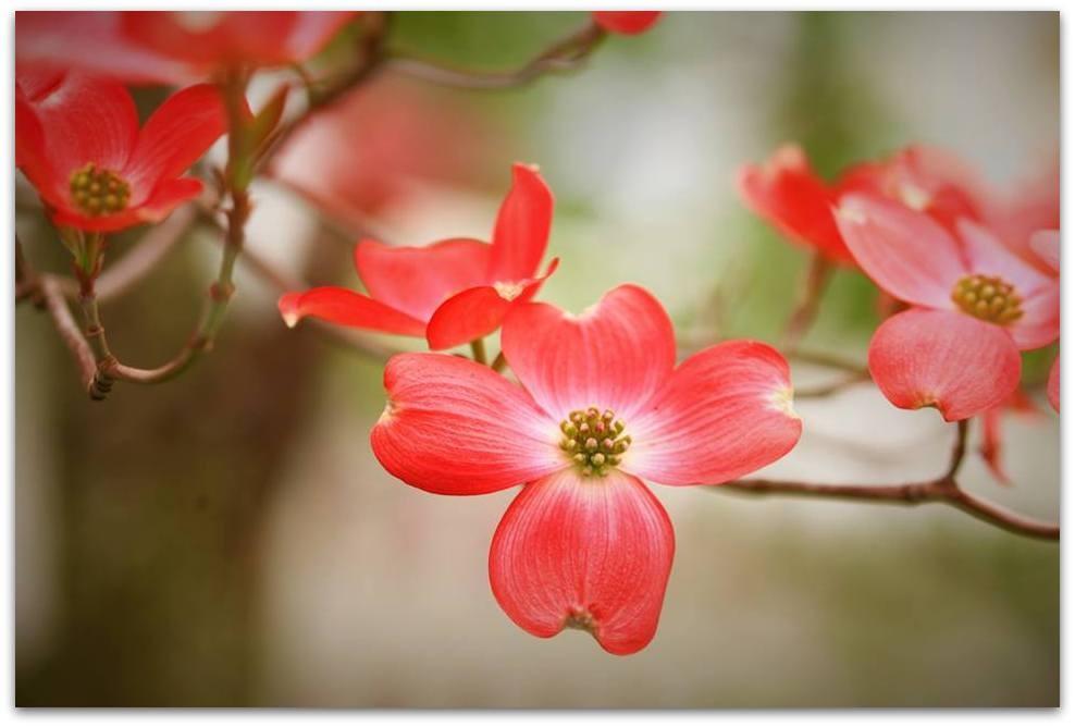 【爱摄影】漂亮的花树 (狗木)你想像不到的美丽_图1-3