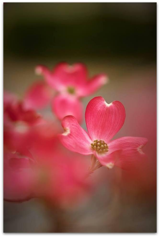 【爱摄影】漂亮的花树 (狗木)你想像不到的美丽_图1-15