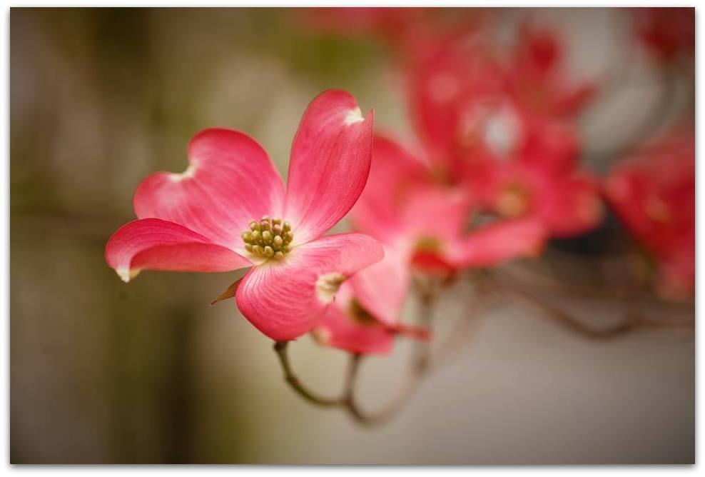 【爱摄影】漂亮的花树 (狗木)你想像不到的美丽_图1-4