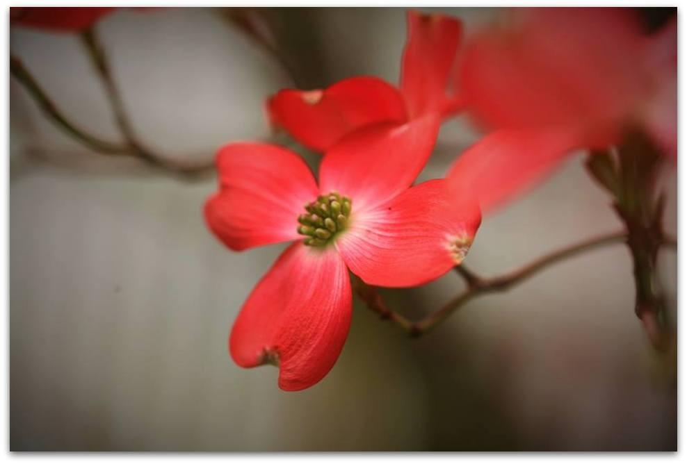 【爱摄影】漂亮的花树 (狗木)你想像不到的美丽_图1-2